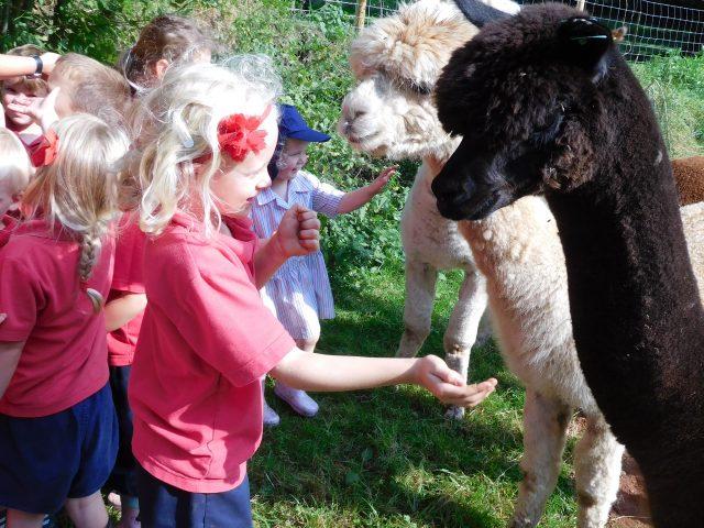 Alpaca's Sept 2016 004